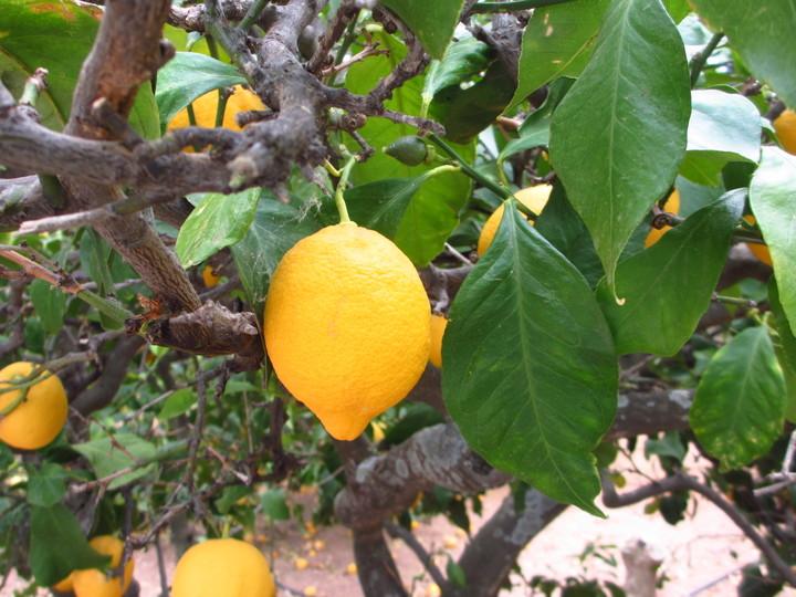 <strong>Zitronenplantage in Rina</strong>© Freiluftleben