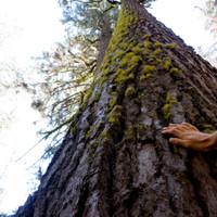 <span><strong>Erster Vegetationskontakt mit einem der riesigen Sequoia Bäume</strong><span class=>©Timo Moser</span></span>
