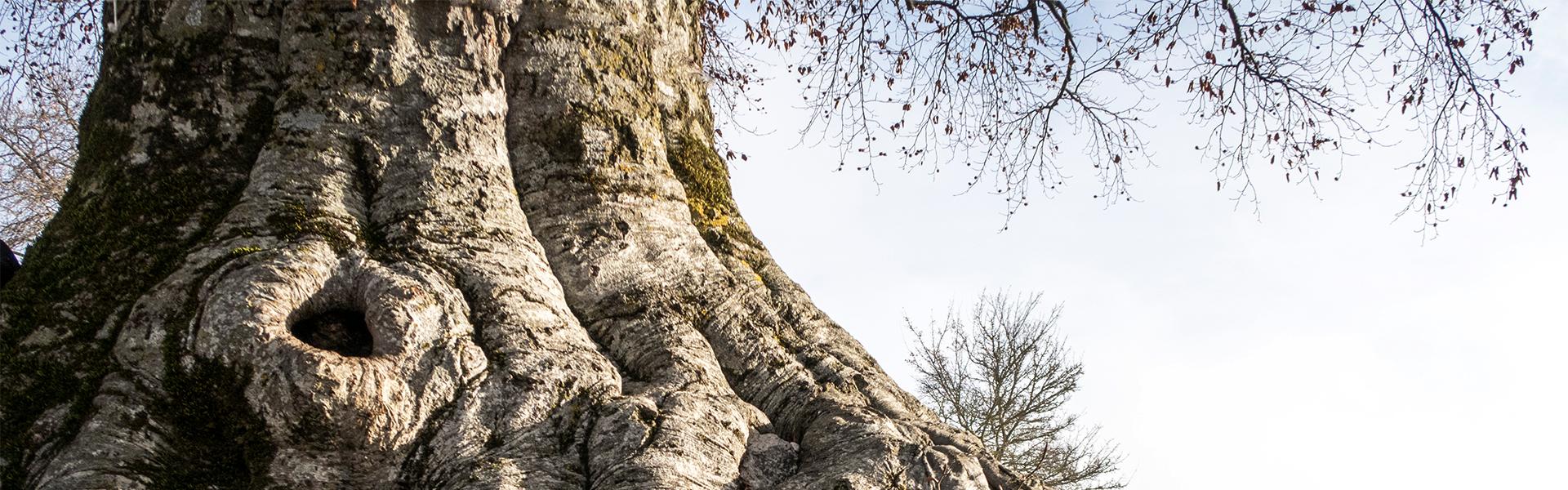 Knorriger Laubbaun mit dicken Wurzen steht fest geerdet im Boden.
