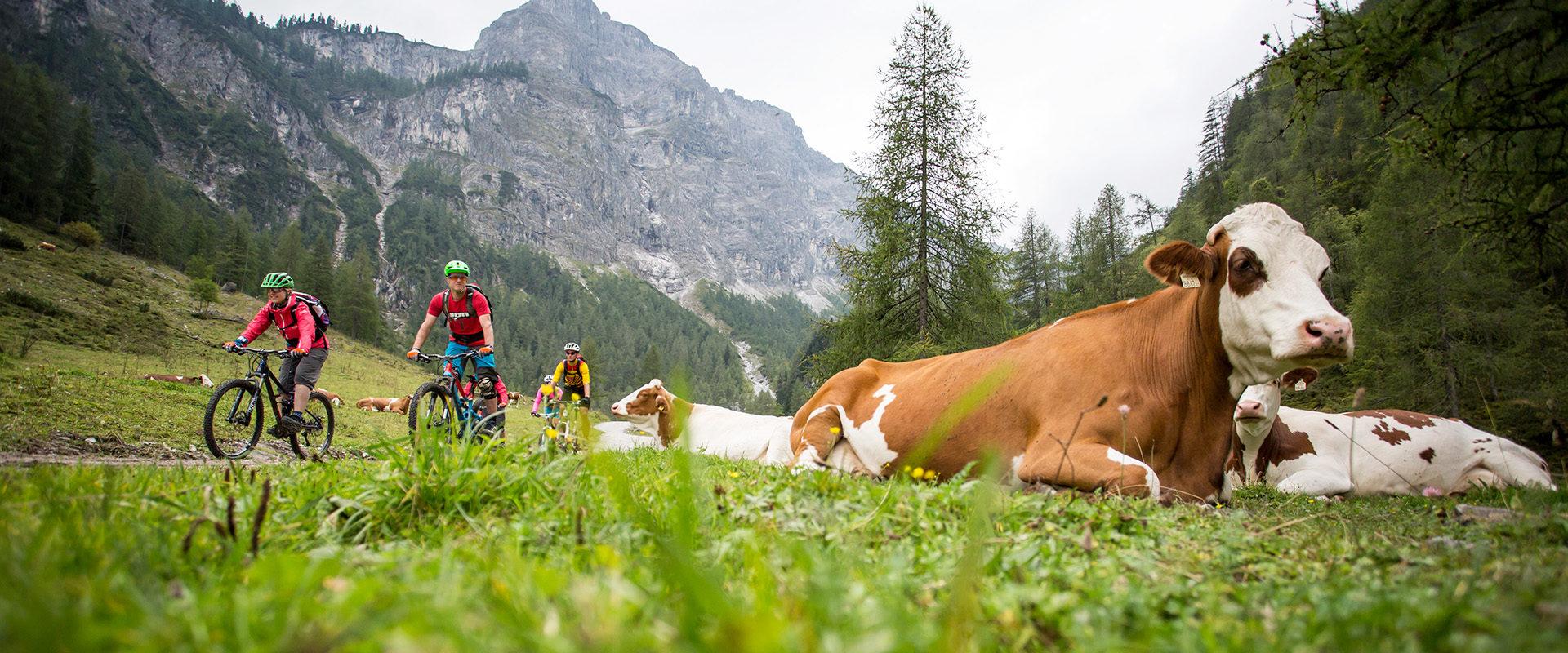 Mountainbikeer auf Almfläche fahren an grasenden Kühen vorbei mit Bergkulisse und Bergen.