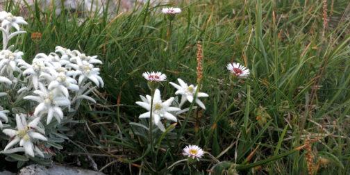 Edelweiss Blume auf satt grüner Bergwiese